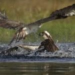 2 ospreys
