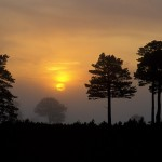Ancient Pine forest sunset