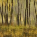 Autumn birchwood impression