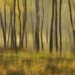 Autumn birchwood impression