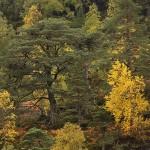 Autumn pineforest