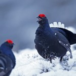 Black cock sparring on spring lek during April snow fall