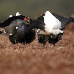 Blackgrouse-012