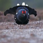 Blackgrouse-017