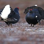 Blackgrouse-021