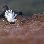 Blackgrouse-07