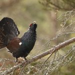 Capercaillie-113