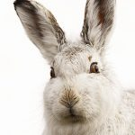 Mountain hare close up