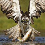 Osprey-99