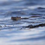 Otter-01