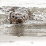 Otter-030