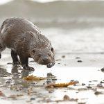 Otter-031