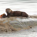 Otter-033