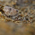 Otter-045