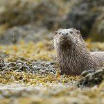 Otter-054