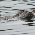 Otter-074