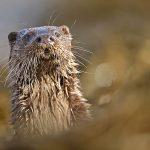 Otter alert