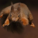 Red Squirrel leaping