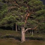 Ancient Scots Pine