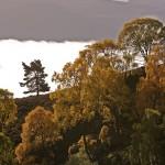 Autumn Birches and mist