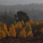 Autumn Birches & Pines