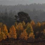 Autumn Birches & Pines