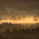 Rothiemurchus anciemt pine forest in dawn mist.