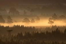Rothiemurchus anciemt pine forest in dawn mist.