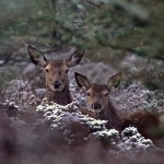 Red Deer Hind & Calf in thick woodland.