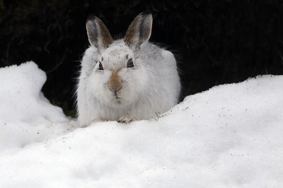 Mountain Hare tucked up below peat bank, sheltering from gale force winds.