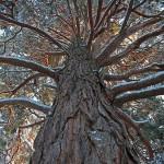 Ancient Scots pine tree.