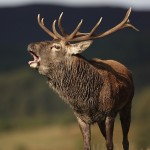 Red Deer Stag roaring during the Autumn rut.