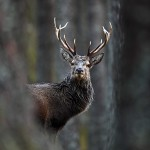 Red Deer Stag in forest
