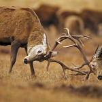 Red Deer Stags fighting. In the Monadhliath Mountains