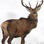 Red Deer Stag in heavy snow fall, in the Monadhliath