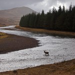 Red Deer Stag's crossing the upper reaches of the River Spey