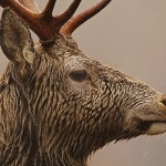 Close-up portrait of Red Deer Stag in rain .