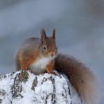 Red squirrel in snow on tree stump