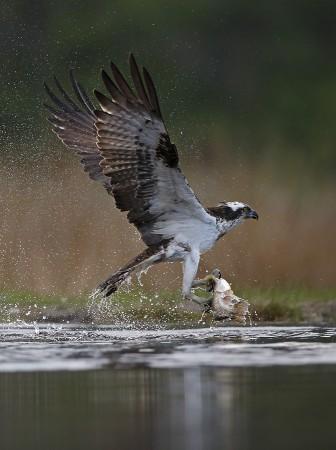 Osprey, Rothiemurchus