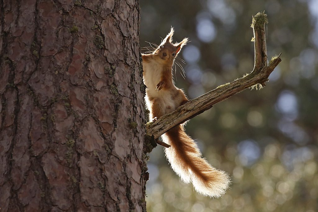 red squirrel, cairngorms national park