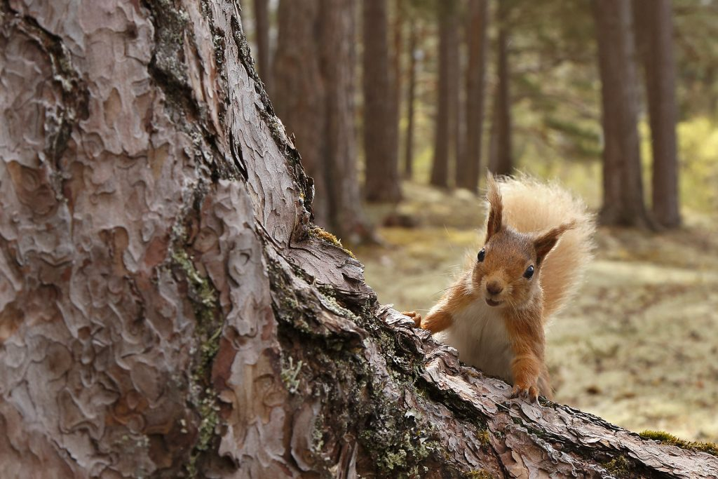 cheeky red squirrel in pine forest