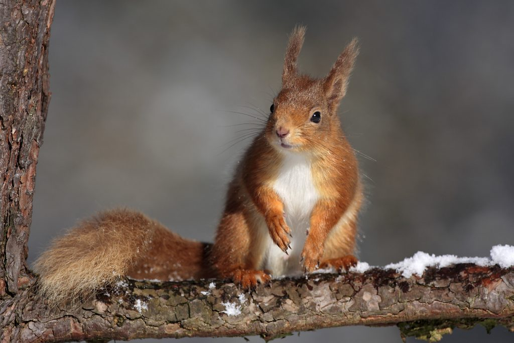 Red Squirrel sitting on branch of pine tree. In the Cairngorms National Park.